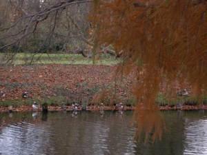 Mandarin ducks beneath willows at Tiergarten, Berlin 2010